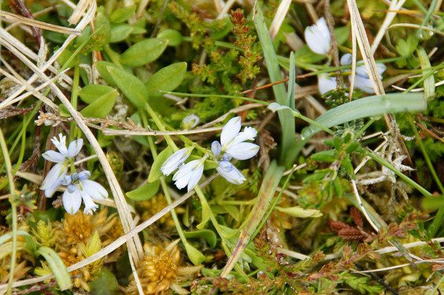 Common Milkwort (Polygala vulgaris), Westing