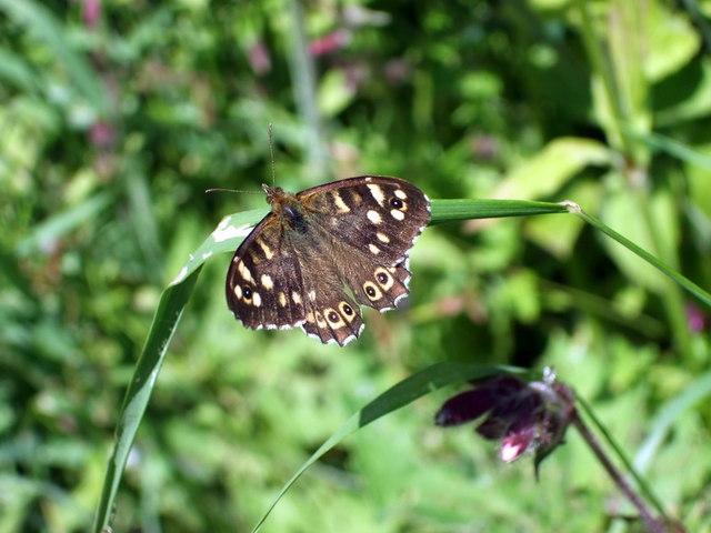Speckled wood butterfly by roadside