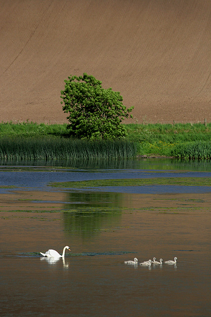 Swans on Yetholm Loch