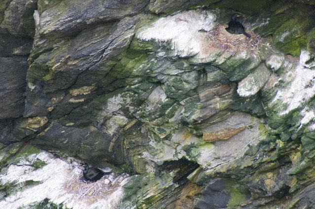 Shags (Phalacrocorax aristotelis), Longa Geo, Westing