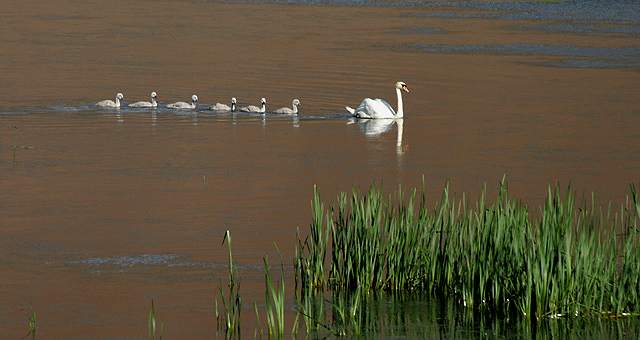 A swan with six cygnets on Yetholm Loch