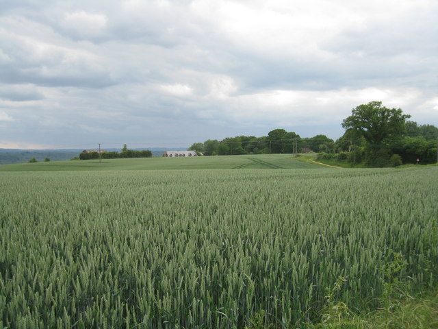 Wheat on Hart's Hill
