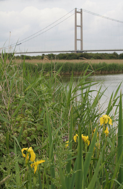 Yellow Flag at Barton Reedbed