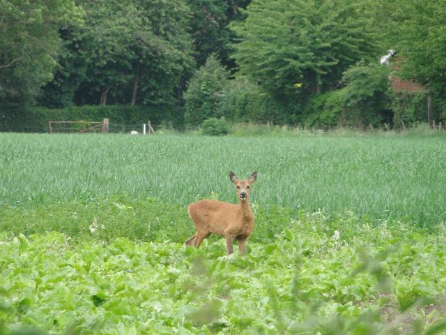 Roe Deer at Didlington