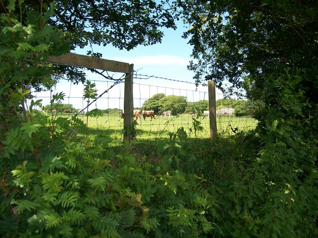 Cattle at Betws Bach