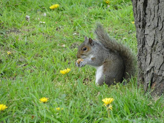 Grey Squirrel in St John's Churchyard