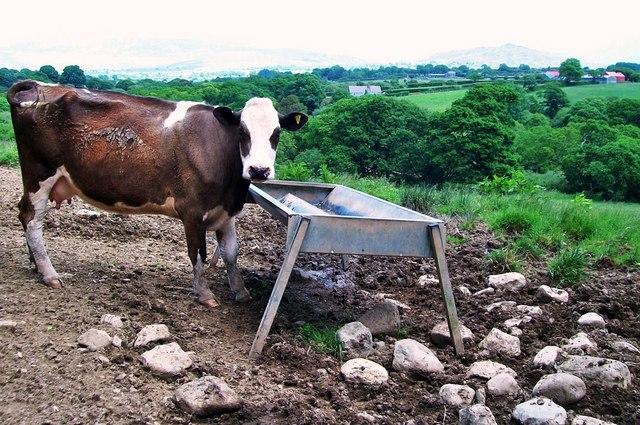 A cow at Betws Bach