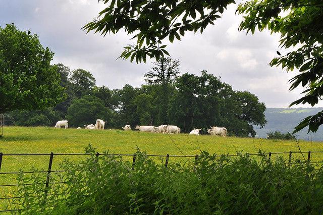 White Park cattle at Dinefwr Park - Llandeilo