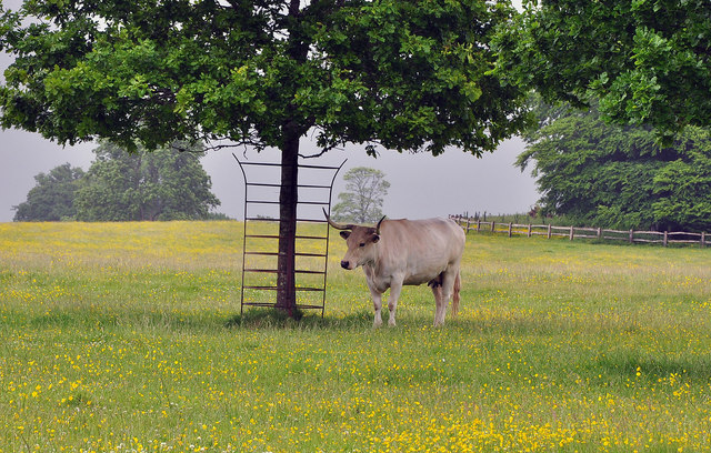White Park cow at Dinefwr Park - Llandeilo
