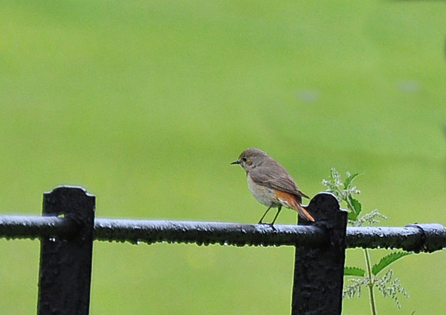 Common Redstart at Dinefwr Park - Llandeilo