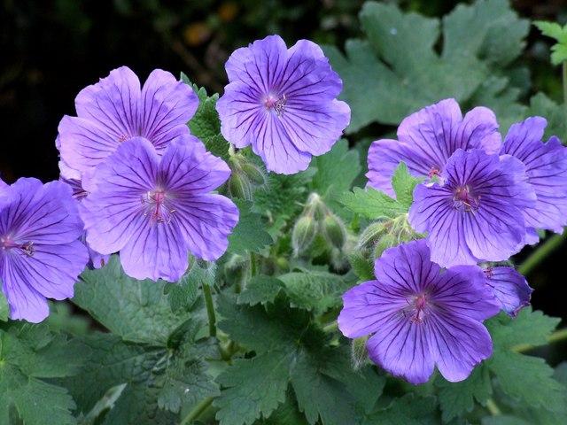 Geraniums, Old Bolingbroke