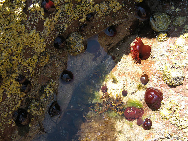 Sea anemones on the rocks