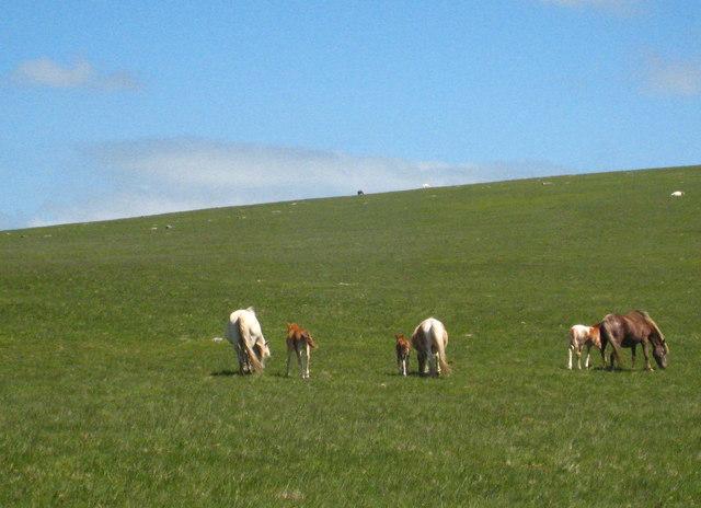 Ponies and foals at Leskernick