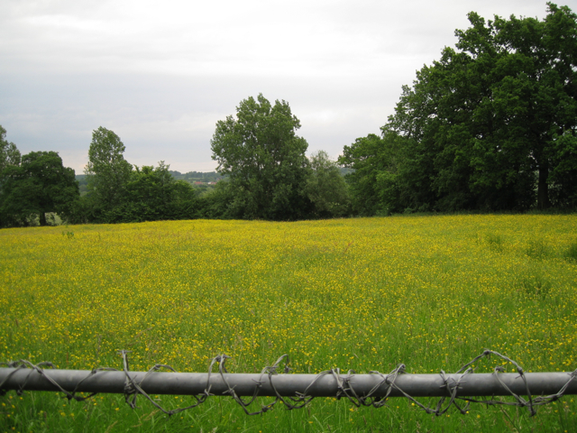 Buttercups by Lapworth Street