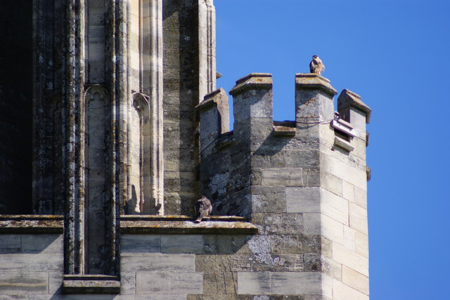 Peregrine Falcons at Chichester Cathedral (1)