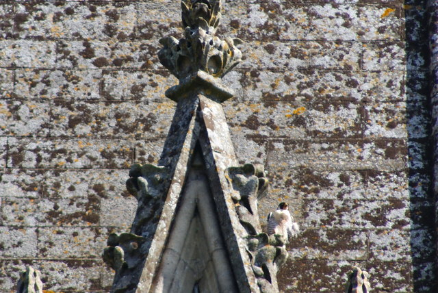 Peregrine Falcons at Chichester Cathedral (2)