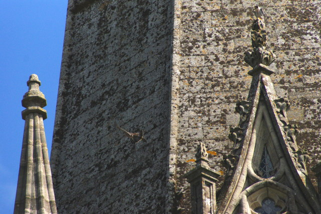 Peregrine Falcons at Chichester Cathedral (3)