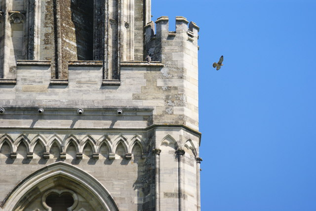 Peregrine Falcons at Chichester Cathedral (5)