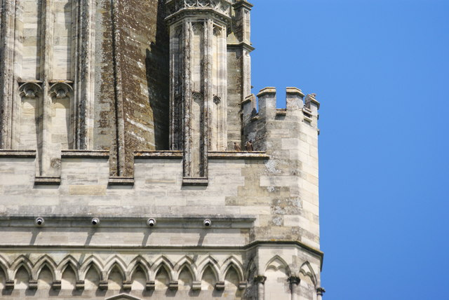 Peregrine Falcons at Chichester Cathedral (6)