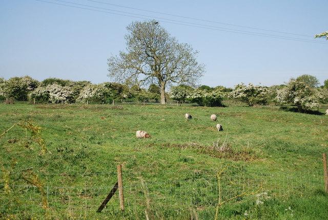 Rare breed Sheep, Bempton