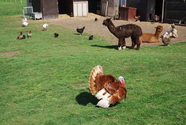 Turkey and Alpacas, Bempton