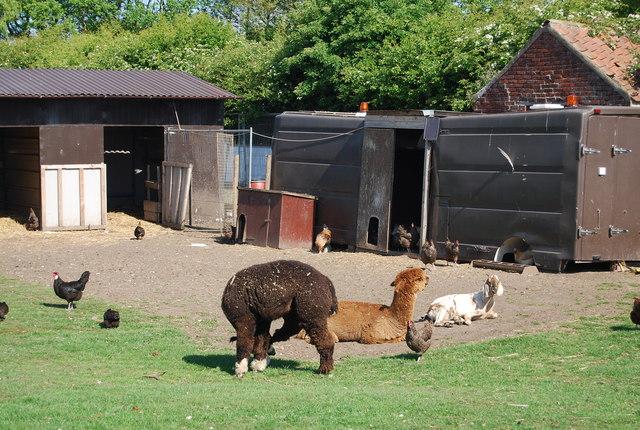 Alpacas, Bempton