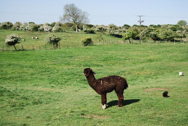 An Alpaca, Bempton
