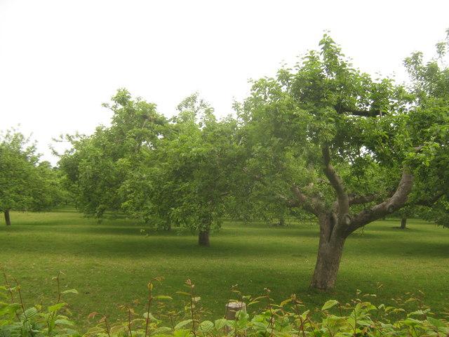 Orchard near Tenterden