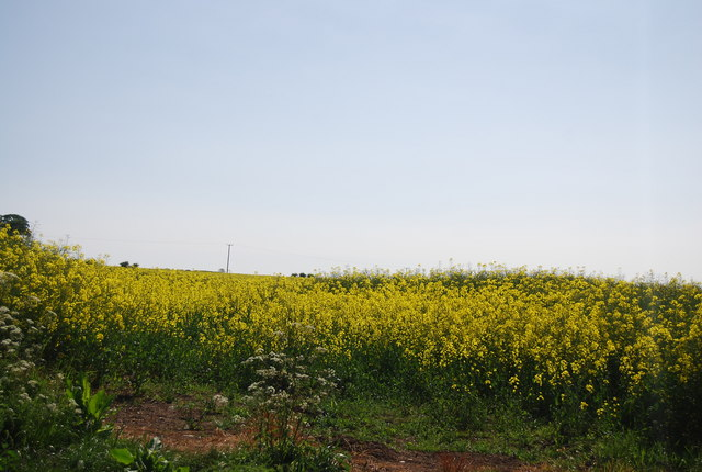 Oil Seed Rape, Cliff Lane
