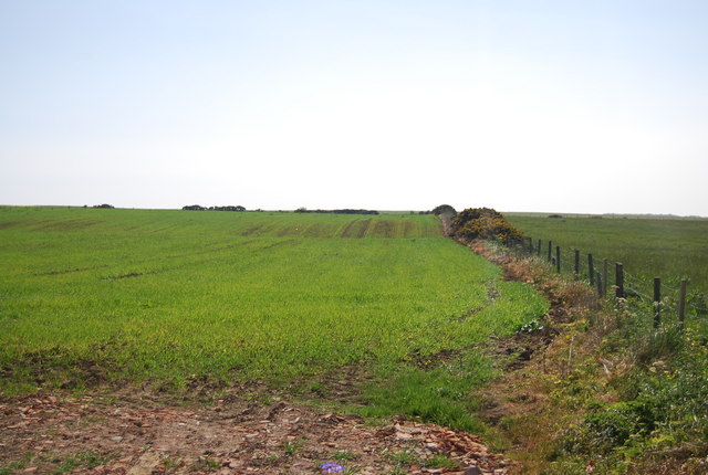 Wheat growing by Cliff Lane