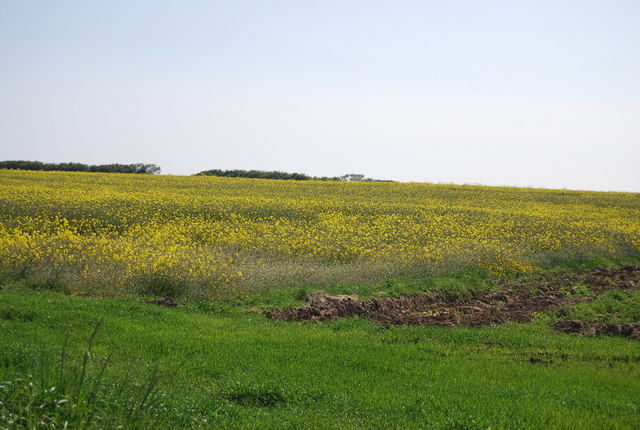 Rapeseed by Cliff Lane