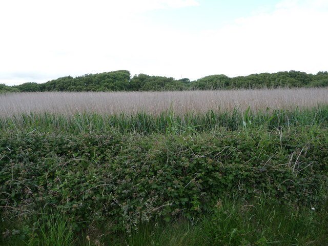 Reed bed beside the Lleyn Coastal Path near Criccieth