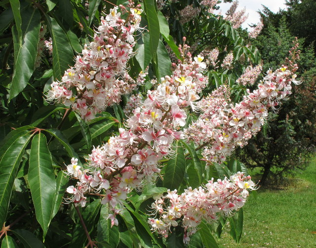Indian Horse Chestnut at Kew Gardens