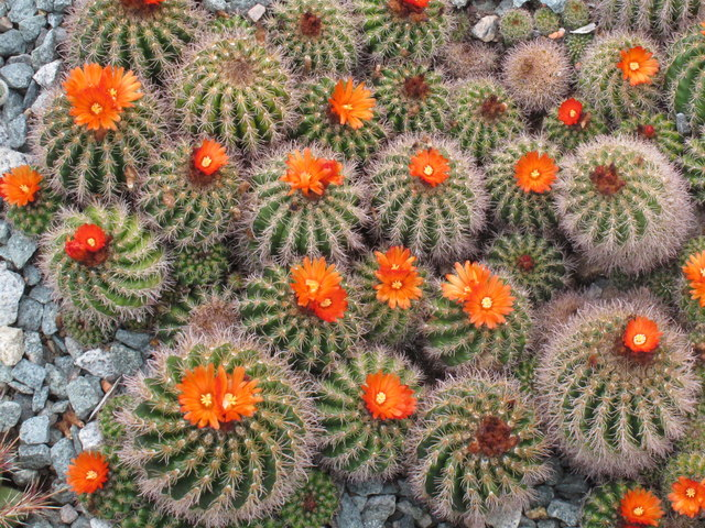 Parodia comarapana cactus at Kew Gardens