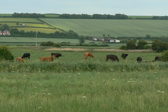 Cattle on the Carrs