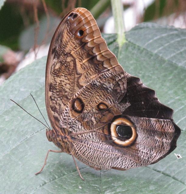 Owl butterfly in Kew glasshouse