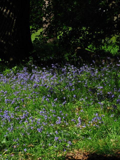 Penygarn Bluebells