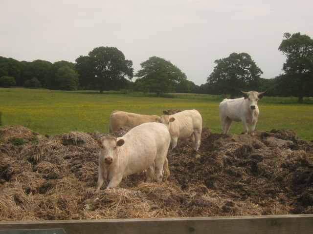 Cows in Manure