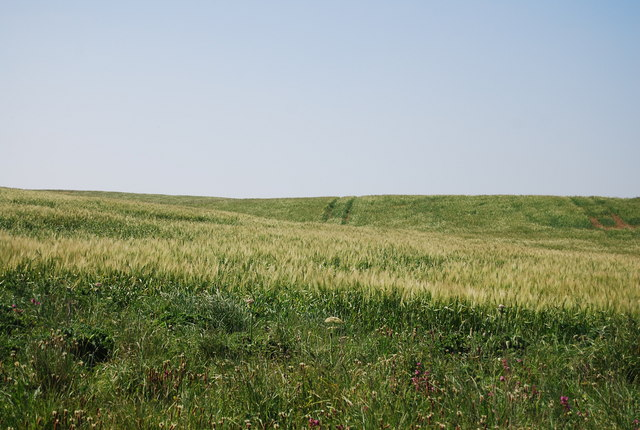 Barley by the Headland Way