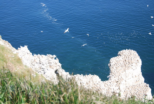 Gannets nesting on Scale Nab