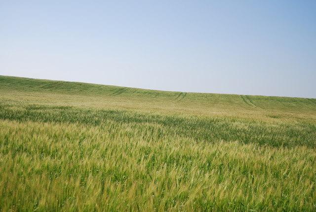 Barley, Bempton Cliffs
