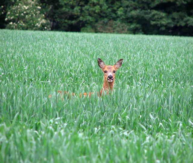 Roe deer in wheat crop south of Didlington