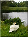 SU7639 : Swan at the Fish Pond, Wyck : Week 24