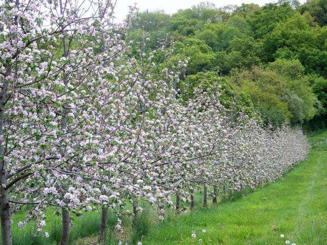 Orchard, Leaze Moor