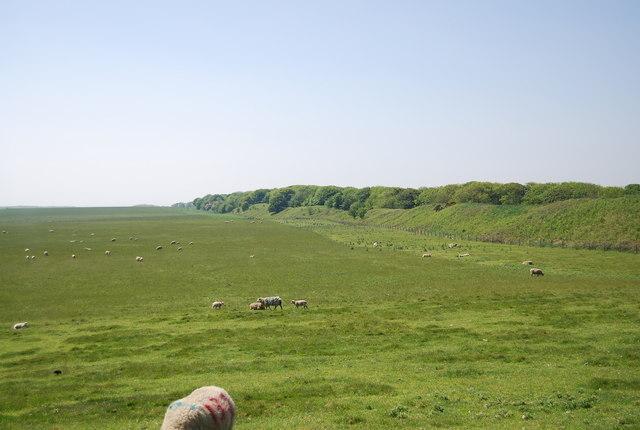 Sheep grazing by Danes Dyke