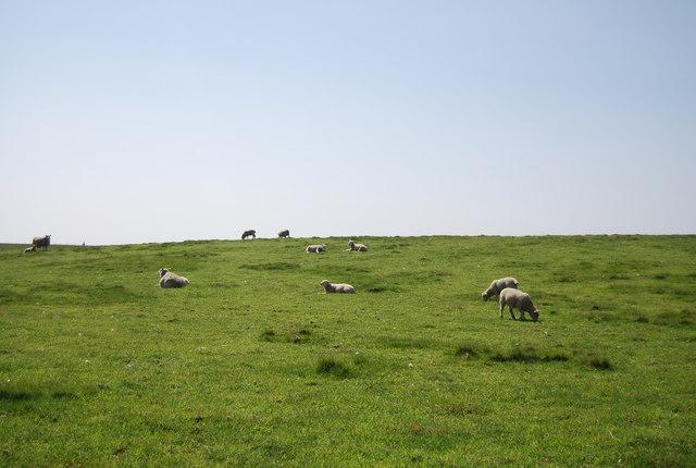 Sheep by the Headland Way