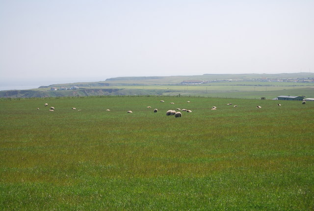 Sheep grazing by Thornwick Holiday Park
