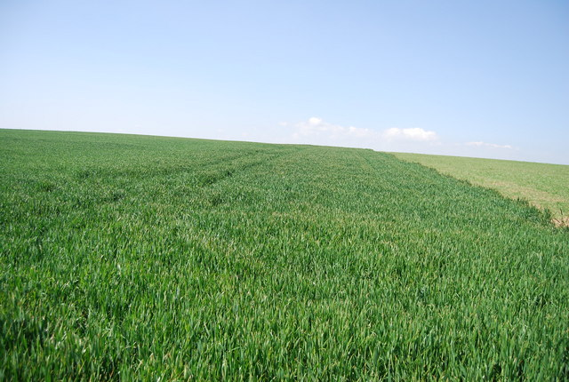 A large wheat field
