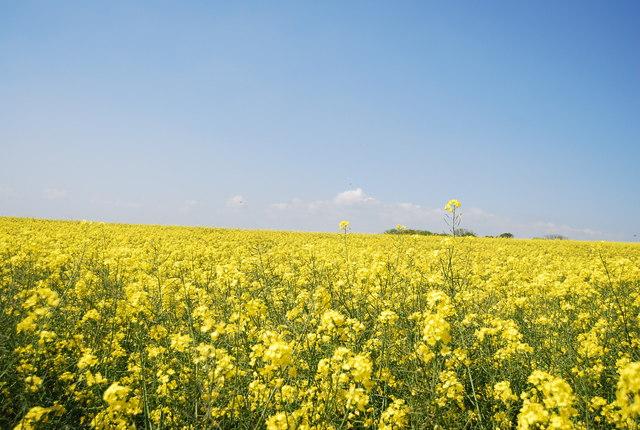 Rapeseed crop near Flamborough