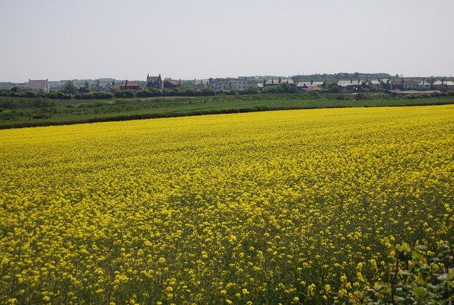Flamborough across the rapeseed